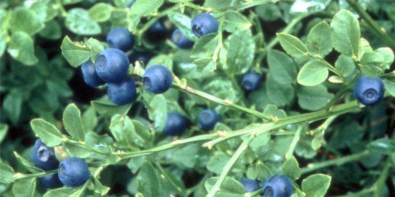 アントシアニンをたっぷり含む北欧産野生種ビルベリーを使用したサプリメントです。