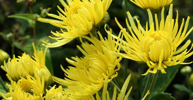 「ビルベリー」は菊の花エキスを含むサプリメントです。