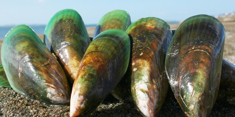 バイオレーンはニュージーランド緑イ貝の微小循環に注目の原料です。